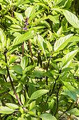 Basilic anis