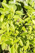 Ocimum basilicum 'Fin Vert' Compact