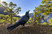 Common raven (Corvus corax) in the caldera of Taburiente, Island of La Palma, in the Canaries. The great crows, curious and opportunistic, are not very shy in the Taburiente National Park - La Palma - Canary Islands