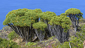 Canary Islands Dragon tree (Dracaena draco) on the island of La Palma, Canary Islands. Las Tricias - The dragon tree is a tree that has become very rare in the wild in the Canaries