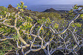 Berode, curious endemic species of the Canary Islands. The Verode (Kleinia neriifolia) is a species of plant in the Asteraceae family, endemic to the Canary Islands - Natural Monument of Teneguia Volcanoes - La Palma - Canary Islands