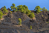 Canary pines on volcanic rocks, La Palma Island, Canary Islands. Canary Island pine (Pinus canariensis) is a magnificent endemic species of the archipelago, very resistant to fire and colonizing bare volcanic soils - Parque Natural de Cumbre Vieja- La Palma- Canary Islands