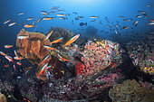School of fusilier (Caesio sp) on one of the reefs of the Similan Islands, Thailand, Andaman Sea