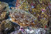 Broadclub Cuttlefish (Sepia latimanus) laying between the granite rocks of the Similan Islands, Thailand, Andaman Sea