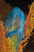 Ember parrotfish (Scarus rubroviolaceus) having found refuge in a gorgonian to spend the night sheltered from predators, Similan Islands, Thailand, Mes des Andaman