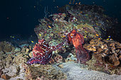 Octopus fight (Octopus sp) in the middle of the granite blocks of the Similan Islands, Thailand, Andaman Sea