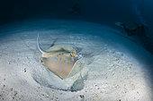Bluespotted ribbontail ray (Taeniura lymma) above the sand, Andaman Sea, Thailand