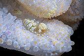 White Anemone shrimp (Periclimenes brevicarpalis) on White Sea Anemone, Andaman Sea, Thailand