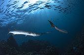 Bécune chevronnée (Sphyraena putnamae), Barracudas de Richelieu Rock, Iles Surin, Thaïlande, Mer d'Andaman