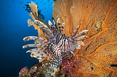 Red lionfish (Pterois volitans) in front of a Sea Fan, Andaman Sea, Thailand