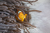 Clown anemonefish (Amphiprion ocellaris) in a sea anemone, Richelieu Rock, Surin Islands, Thailand, Andaman Sea