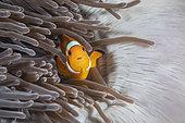 Clown anemonefish (Amphiprion ocellaris) in a sea anemone, Richelieu Rock, Surin Islands, Thailand, Andaman Sea