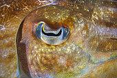 Broadclub Cuttlefish (Sepia latimanus) eye, Similan Islands, Thailand, Andaman Sea