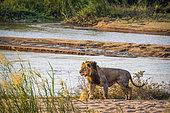 African lion (Panthera leo) walking on riverbank in Kruger National park, South Africa