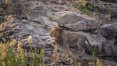 African lion male walking on rock at dawn in Kruger National park, South Africa ; Specie Panthera leo family of Felidae