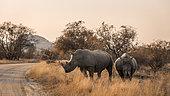Deux rhinocéros blancs du sud (Ceratotherium simum simum) traversant une piste de safari dans le parc national Kruger, Afrique du Sud