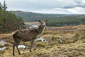 red deer (Cervus elaphus) hind standing amongst grass, Scotalnd