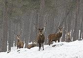 Red deer (Cervus elaphus) stags standing in the snow, Scotalnd