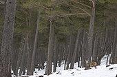 Red deer (Cervus elaphus) stag standing in the snow, Scotalnd