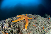 Smooth starfish (Hacelia attenuata), in a cave in the Karaburun-Sazani Marine Protected Area, Albania.