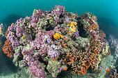 False coral colonies (Myriapora truncata), on a coralligenous reff off Cap Leucate, Aude, Occitanie, France. Gulf of Lion Marine Natural Park