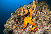 Smooth starfish (Hacelia attenuata) on a coralligenous reef, in Kornati National Park (Croatia)