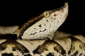 Hundred-pace viper (Deinagkistrodon acutus)