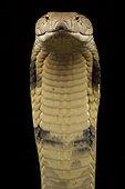 Cobra royal (Ophiophagus hannah) sur fond noir