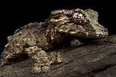 Corkbark leaf-tailed gecko (Uroplatus pietschmani)