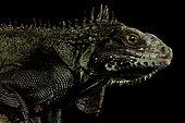 Saban Black Iguana (Iguana melanoderma)
