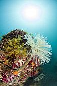 Wreathy-tuft tube worm (Spirographis spallanzanii), in the Marine Protected Area of the Agathoise Coast, Hérault, Occitanie, France