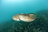 Common cuttlefish (Sepia officinalis) above Posidonia (Posidonia oceanica), in the Marine Protected Area of the Agathoise coast, Héraul, t Occitanie, France