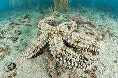Spiny starfish (Marthasterias glacialis), in the Marine Protected Area of the Agathoise Coast, Roc de Brescou Marine Reserve, Hérault, Occitanie, France
