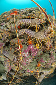 Common spiny lobster (Palinurus elephas) on a plateau coralligenous massif, in the Marine Protected Area of the Agathoise Coast, Roc de Brescou Marine Reserve, Hérault, Occitanie, France