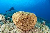 Eponge (Ircinia sp), dans le golfe de Bomba, Libye