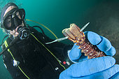 Marine biologist marking a young common spiny lobster (Palinurus elephas), in the Marine Protected Area of the Agathoise Coast, Roc de Brescou Marine Reserve, Hérault, Occitanie, France