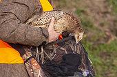 Tracker with Pheasant, Small game hunting, Mackenheim, Bas-Rhin, Grand Est region, France