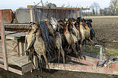 game collected by trackers, hunting little game, Rhine forest, Alsace, France