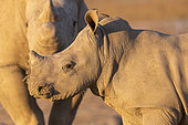 White rhinoceros or square-lipped rhinoceros (Ceratotherium simum) , young, captive, Private reserve, Namibia