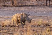 White rhinoceros or square-lipped rhinoceros (Ceratotherium simum), adult, captive, Private reserve, Namibia