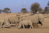 White rhinoceros or square-lipped rhinoceros (Ceratotherium simum), mother and young, captive, Private reserve, Namibia