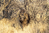 Brown hyena or Strandwolf (Parahyaena brunnea, before Hyaena brunnea), captive, Private reserve, Namibia