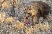 Brown hyena or Strandwolf (Parahyaena brunnea, before Hyaena brunnea), captive, eating a bone, Private reserve, Namibia