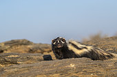 Striped polecat or African Polecat (Ictonyx striatus), captive, Private reserve, Namibia