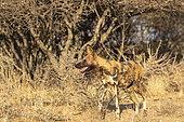 African wild dog or African hunting dog or African painted dog (Lycaon pictus), adult, captive, Private reserve, Namibia