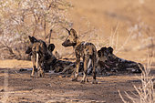 African wild dog or African hunting dog or African painted dog (Lycaon pictus), group of youngs, captive, Private reserve, Namibia
