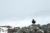 Red grouse (Lagopus lagopus scotica) perched on a wall, Scotalnd