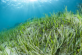 Mixed seagrass with Caulerpa (Caulerpa prolifera), Mediterranean seagrass (Halophila stipulacea) and Slender Seagrass (Cymodocea nodosa), in front of the beach of Kokkini Hani, Crete.