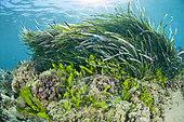 Caulerpa (Caulerpa prolifera), in front of a Posidonia seagrass, in front of the beach of Kokkini Hani, Crete.