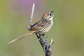 Cape Grassbird (Sphenoeacus afer), side view of an adult singing from a dead branch, Western Cape, South Africa